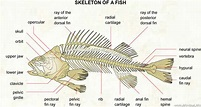 Fishes - Facts, Characteristics, Anatomy and Pictures