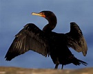 Double-crested Cormorant | Audubon Field Guide