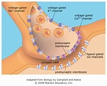 Best 25+ Chemical synapse ideas on Pinterest