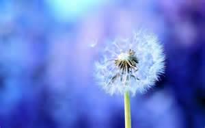File Name: #784380 Dandelion Photos by Naomi Merdinger on FeelGrafix