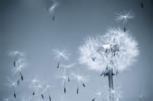 Pin Dandelion In Wind Blowball Spores Flower on Pinterest