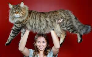 Maine Coon Cats | Brief History Of The Maine Coon Cat