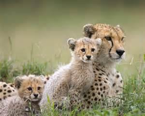 Cheetah Family - Wild Animals Wallpaper (2603080) - Fanpop